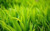 Fresh green spring grass  — Stock Photo