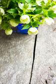 Helleborus flowers — Stock Photo