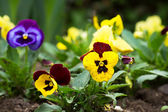 Tricolor violas — Stock Photo
