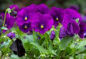 Tricolor violas — Stock Photo