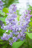Closeup of lilac flowers  — Stock Photo