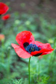 Red poppies flowers — Stock Photo