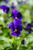 Bratek kwiaty — Zdjęcie stockowe