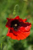 Fleurs de pavot rouges — Photo