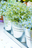 Forget me not flowers — Stock Photo