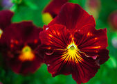 Tricolor violas or pansy — Stock Photo