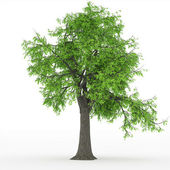 Ash tree in 100Mpix — Stock Photo