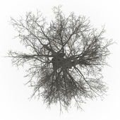 Ash tree top leafless — Stock Photo