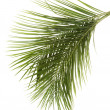 Leaves of palm tree — Stock Photo #12484574