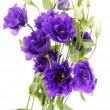 Stock Photo: Advantage purple flower eustoma