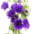 advantage purple flower eustoma — Stock Photo