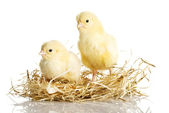 Little chickens — Stock Photo