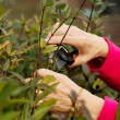 Close up on an old lady's hands cutting bushes.  — Stock Photo