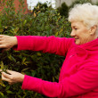 Stock Photo: Old lady is cutting bushes.