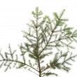 Zdjęcie stockowe: Green fir isolated on white.