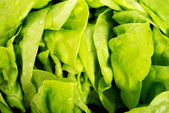 Green lettuce, close up. — Zdjęcie stockowe