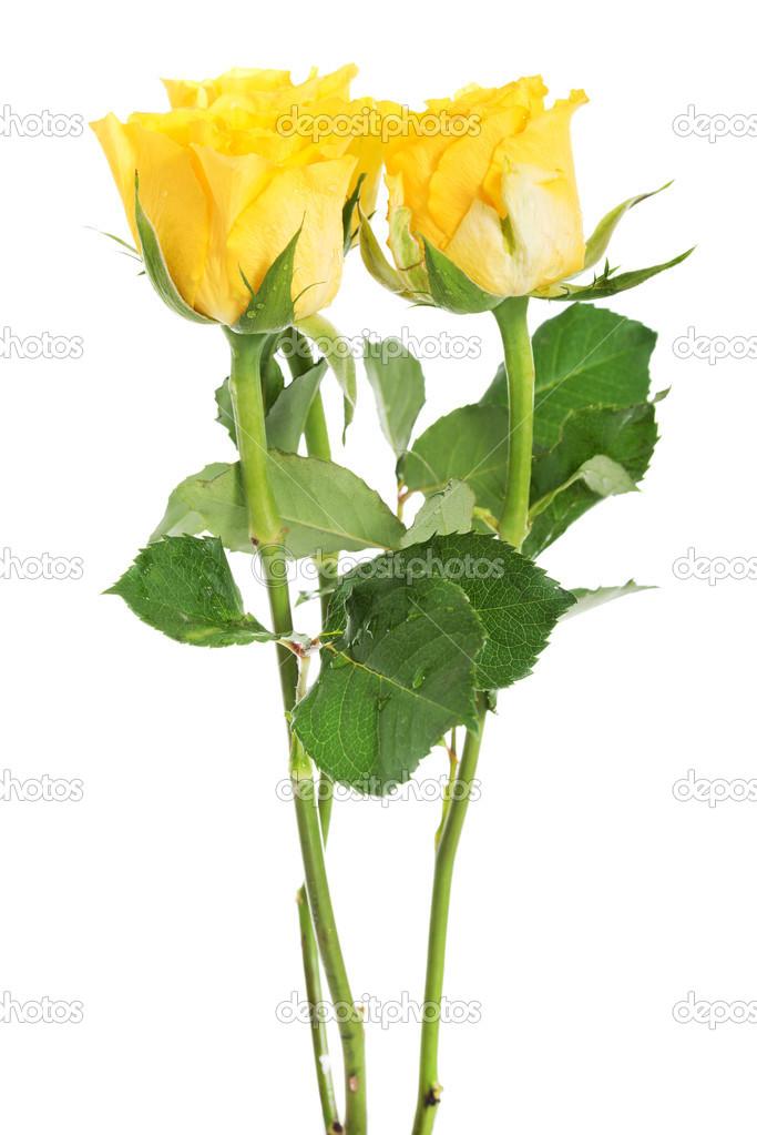 A bouquet of three yellow roses. � Foto stock � piotr_marcinski ...