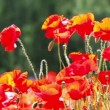 Red weed - Flowering red poppies in the field — Stock Video