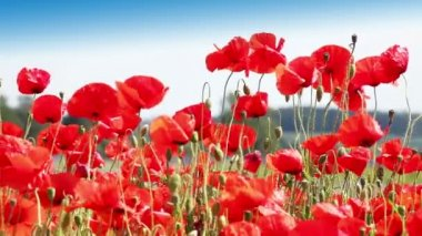 Red weed - Flowering red poppies in the field — Vidéo