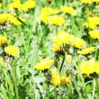 Stock Video: Glade of dandelions
