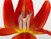 One separated open, red tulip flower. — Stock Photo