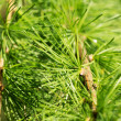 Larch — Stock Photo #41421203