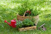 Herbs in a garden — Stock Photo