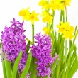 Daffodils and hyacinths — Stock Photo