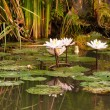 Pond with lotus — Stock Photo