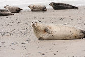Harbor seal at the North Sea — Stock Photo