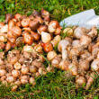 Flower bulbs in the garden — Stock Photo