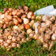 Stock Photo: Flower bulbs in the garden