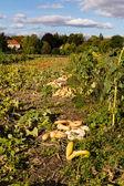 Pumpkins on a field — Stock Photo