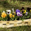 Pansies in a basket — Stock Photo