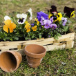 Pansies in a basket — Stock Photo #35946033