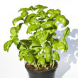 Basil — Stock Photo #40250477