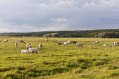 Cattle herd on a meadow — Stock Photo