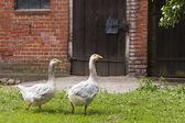 Geese on a farm — Stock Photo