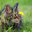 Wildcat  small predator — Stockfoto