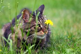 山猫の小さい捕食者 — ストック写真