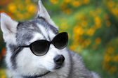 Husky with sunglasses looks like a teacher — Стоковое фото
