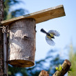 Blue tit flying — Stock Photo