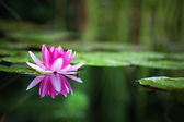 Roze waterlily — Stockfoto