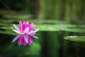 Pink waterlily — Stock Photo