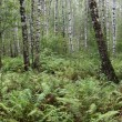 Summer birch forest - Stock Photo