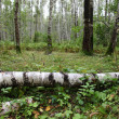 Summer birch forest — Stock Photo