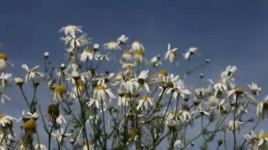 Daisies in a meadow on a clear day — Stock Video