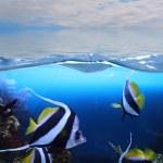 Group of fishes (Moorish idol) — Stock Photo