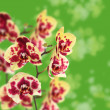 Beautiful yellow with red spots orchid — Stock Photo #13639233
