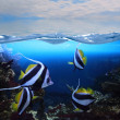 Group of fishes (Moorish idol) — Stock Photo